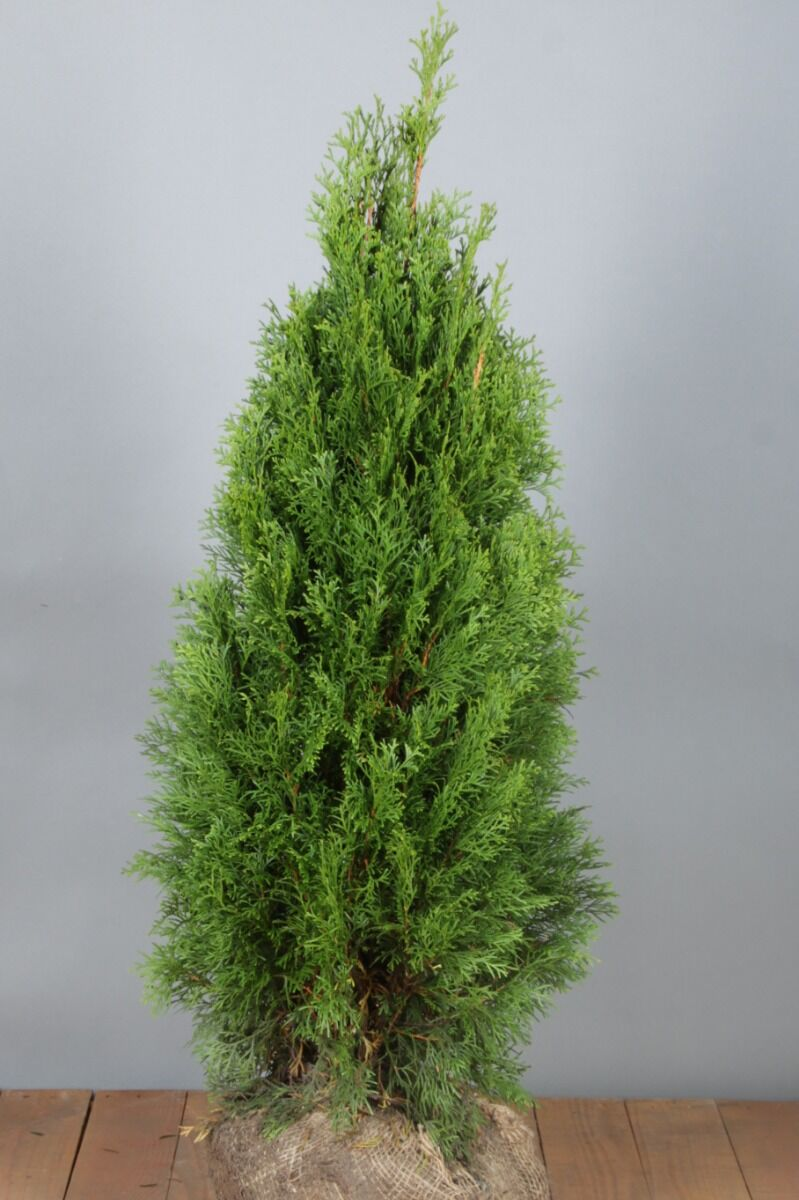 Levensboom 'Smaragd' (80-100 cm) Extra kwaliteit Kluit