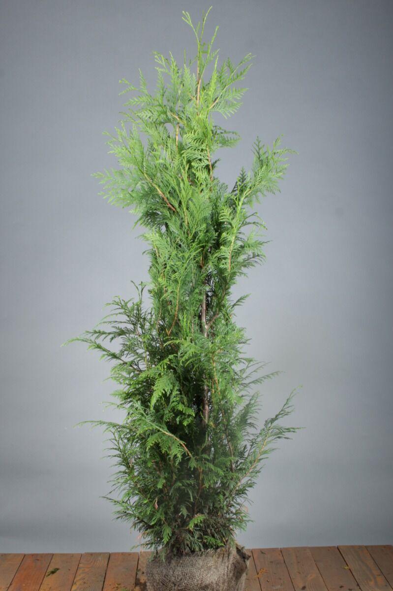 Levensboom 'Martin' (125-150 cm) Kluit