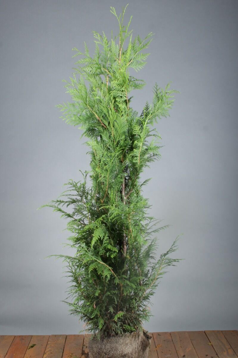 Levensboom 'Excelsa' (125-150 cm) Kluit
