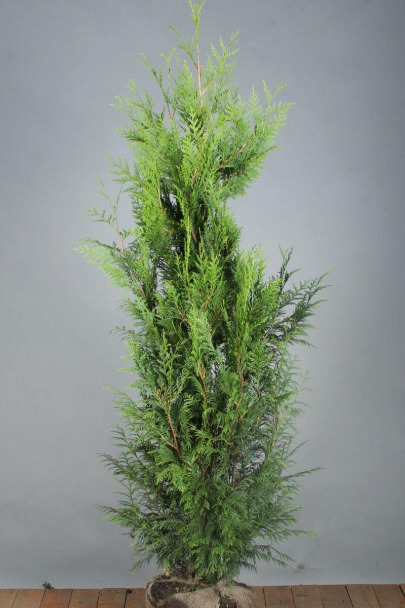 Levensboom 'Excelsa' (150-175 cm) Kluit