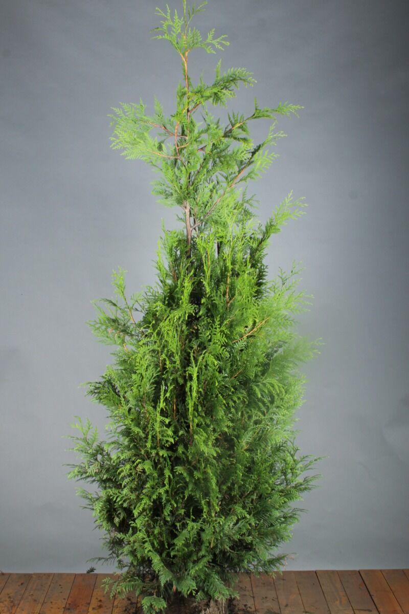 Levensboom 'Martin' (175-200 cm) Extra kwaliteit Kluit