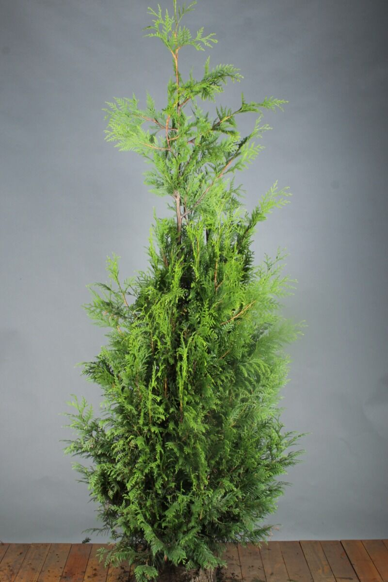 Levensboom 'Excelsa' (175-200 cm) Kluit
