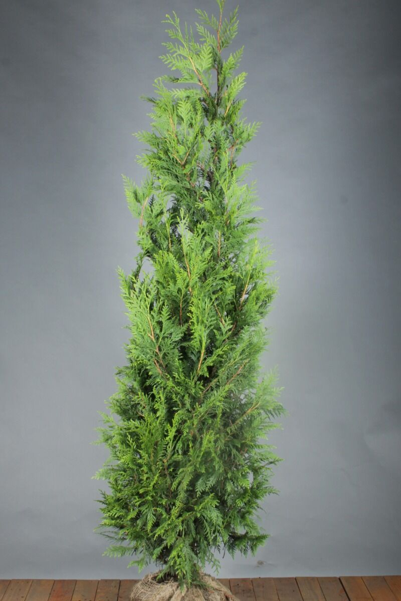 Levensboom 'Martin' (200-225 cm) Kluit