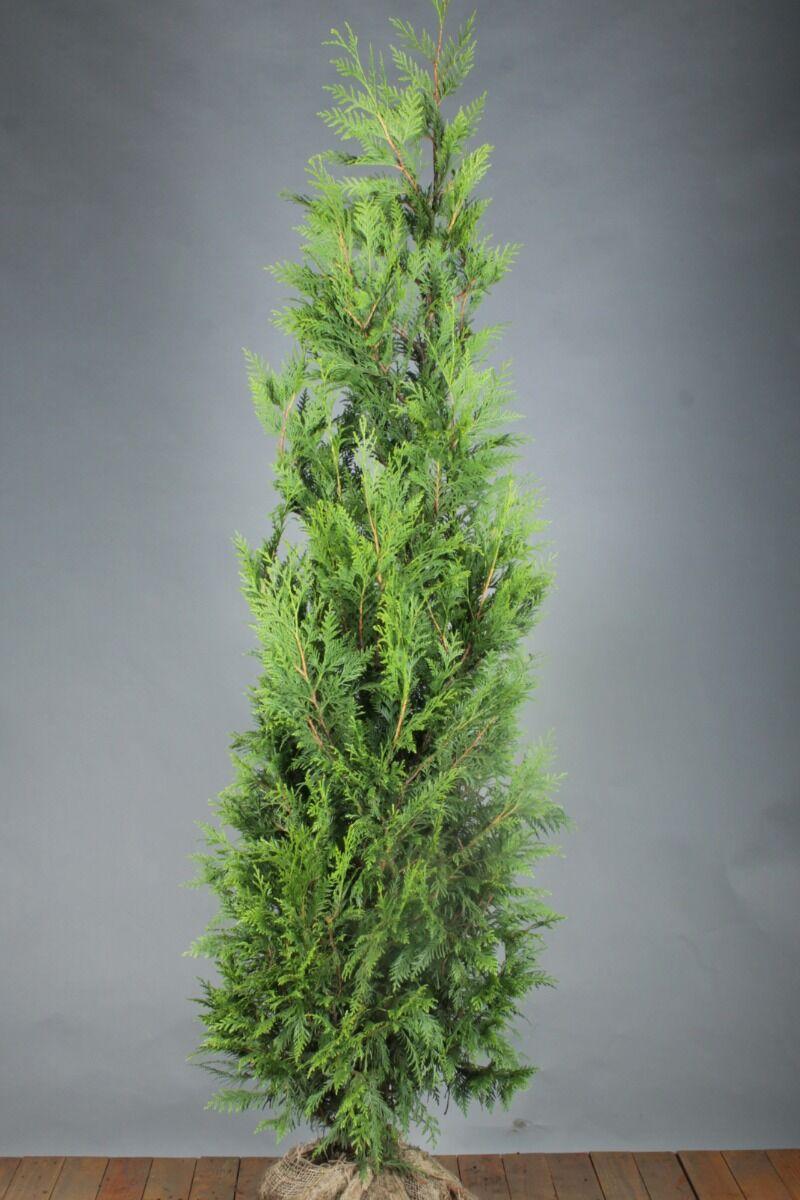 Levensboom 'Excelsa' (200-225 cm) Kluit