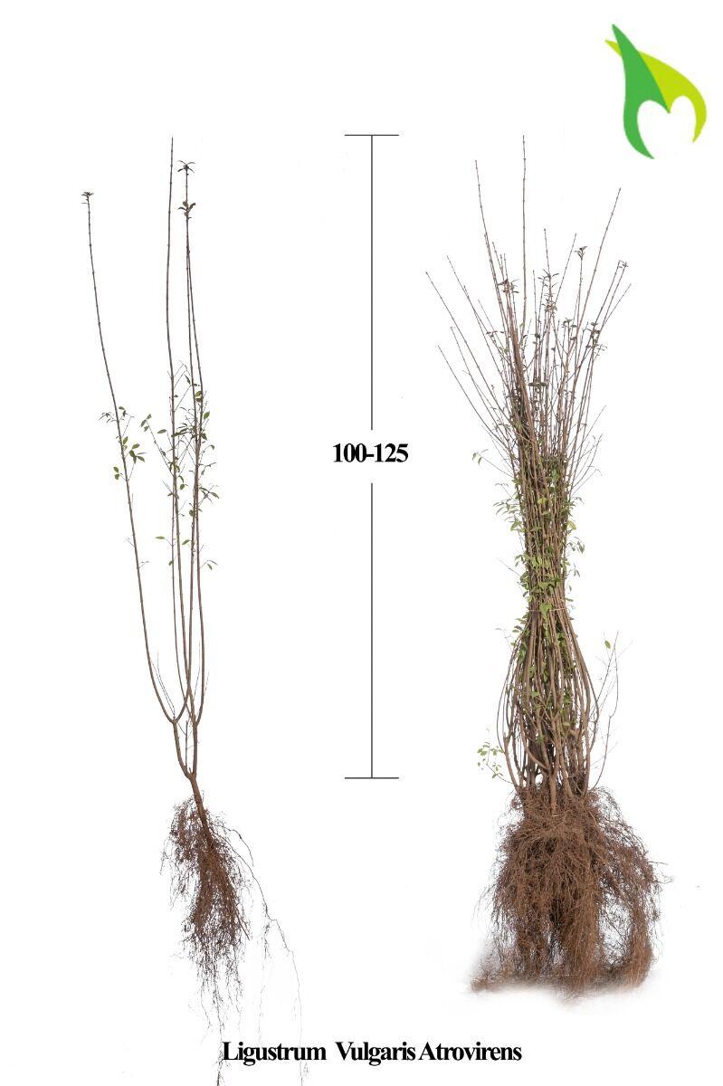Wintergroene Liguster Atrovirens (100-125 cm) Blote wortel