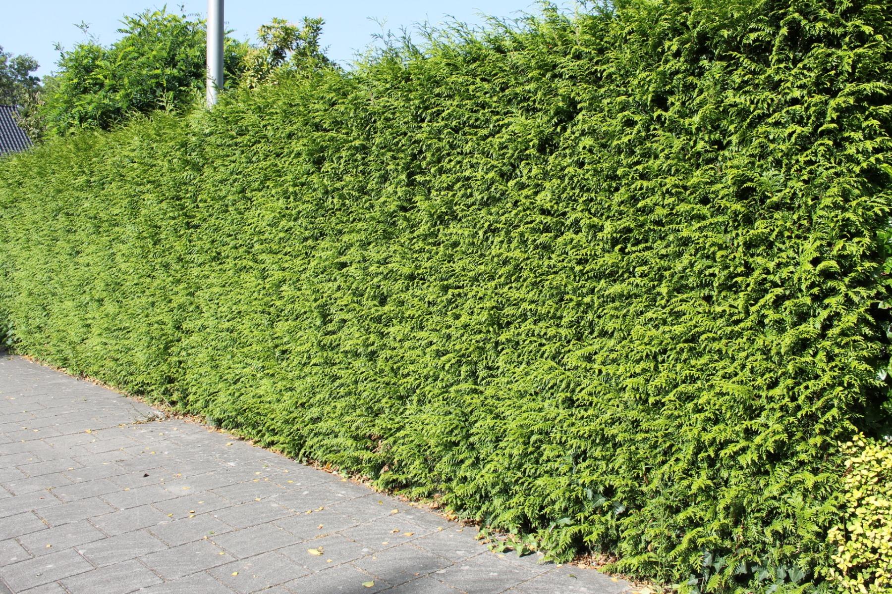 Levensboom 'Brabant'
